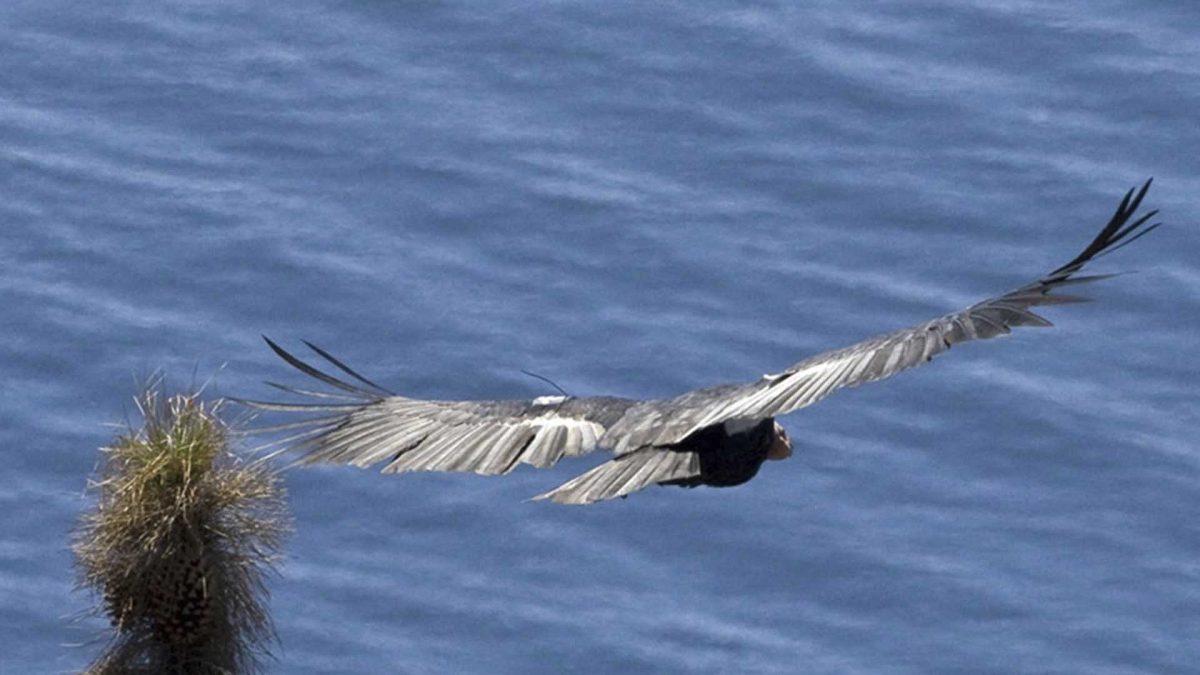 Condor of Baja California