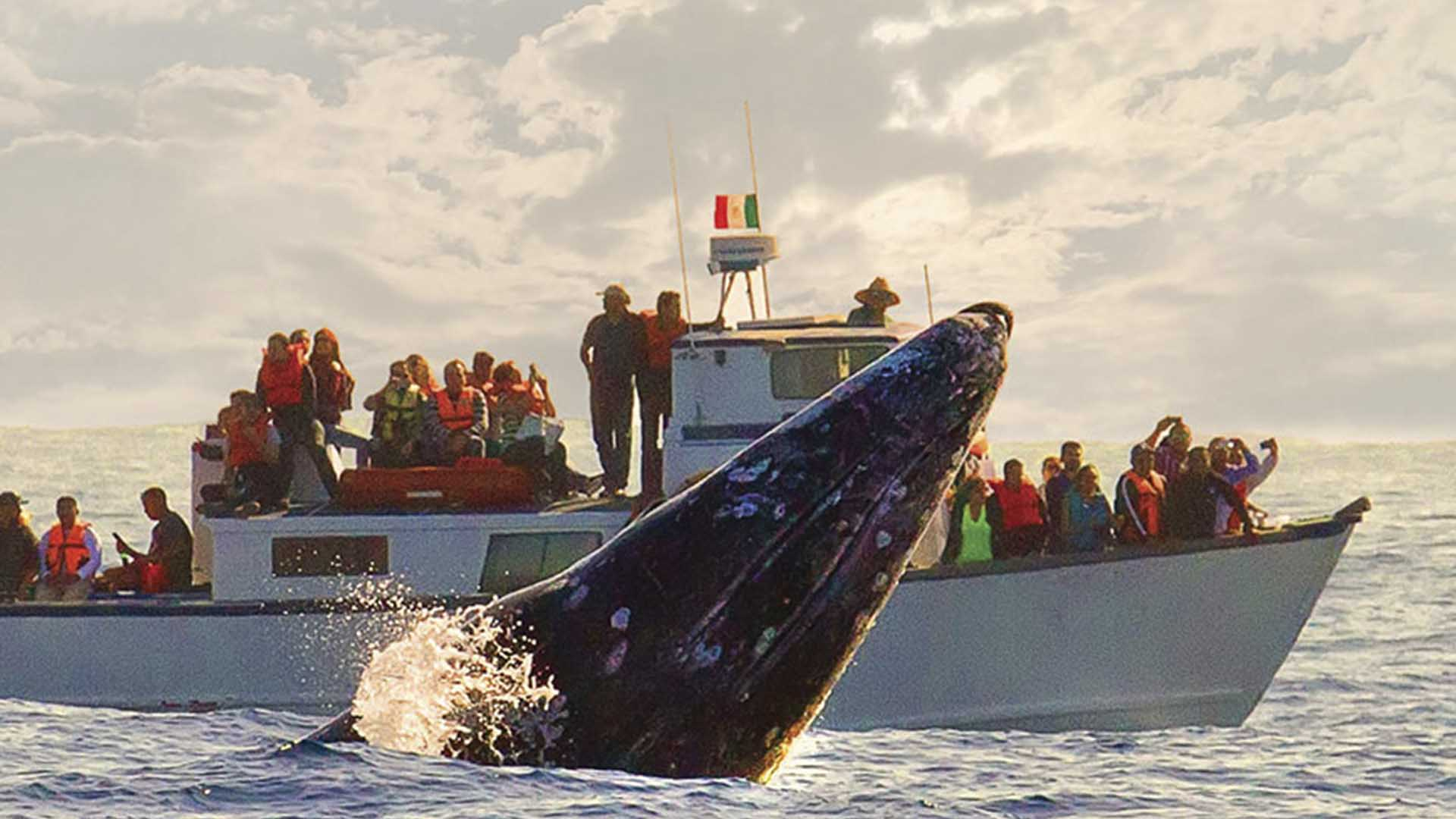 Watching the Gray Whale, Baja California